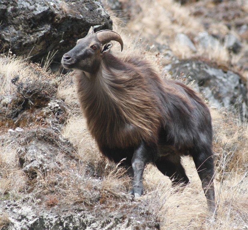 himalayan mountain goat