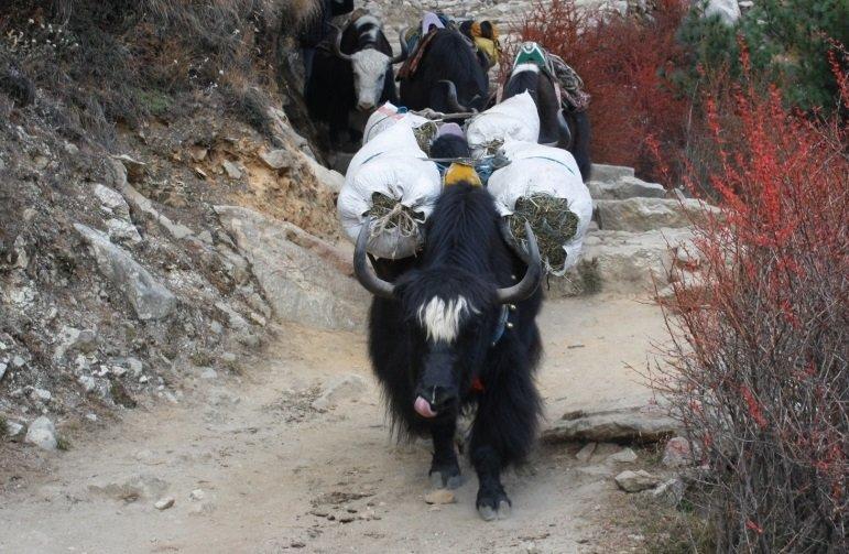 yaks-in-himalayas